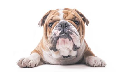 English bulldog pup isolated on white background