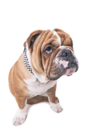 Sad English bulldog isolated on white background