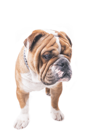 pup: Portrait of worried English bulldog pup,isolated on white background