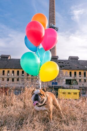 English bulldog with colorful balloons,selective focus  Stock Photo