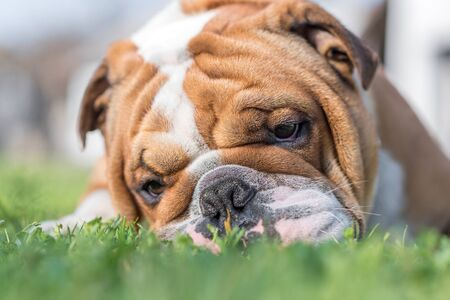 grass close up: Close up portrait of English bulldog in the grass,selective focus  Stock Photo