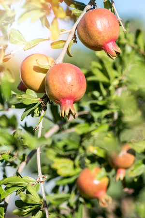 jewish: Pomegranate tree with fruits,selective focus  Stock Photo