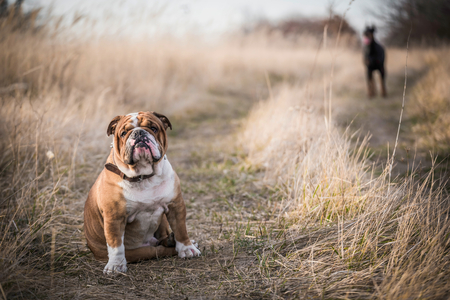 English bulldog posing outdoor with Doberman pinscher in background,selective focus  Stock Photo