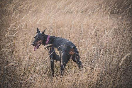Female Doberman pinscher dog posing outdoor,selective focus  Stock Photo