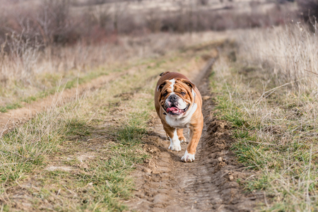 English bulldog walking on the off road,selective focus   Stockfoto