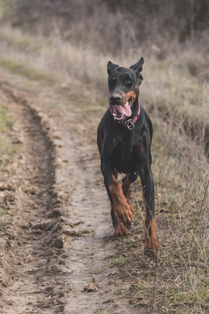Female Doberman pinscher running outdoor,selective focus Stock Photo