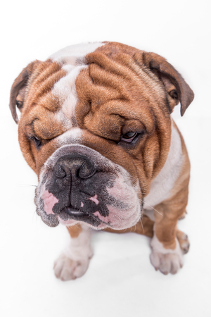 Close up portrait of bored English bulldog isolated on white background