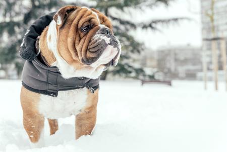 Big English bulldog posing outdoor,selective focus and blank space  Stock Photo