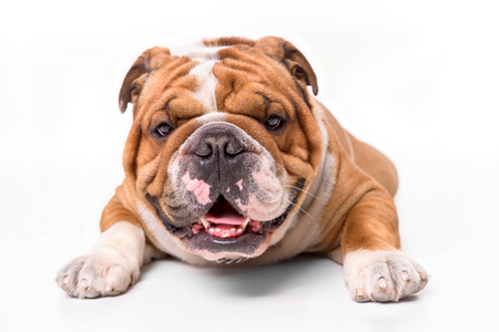 Portrait of english bulldog on white background