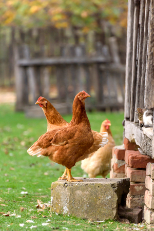 Couple of chicken on farm yard,selective focus