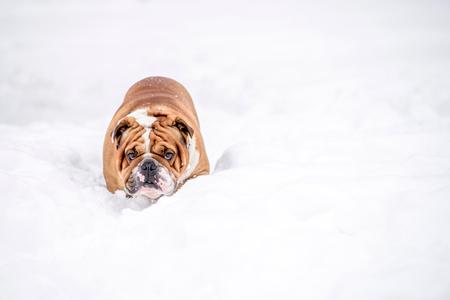 English bulldog deep in the snow,selective focus Zdjęcie Seryjne