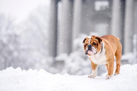English bulldog in the snow,selective focus