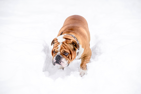 Portrait of cute bulldog in the snow,selective focus Zdjęcie Seryjne