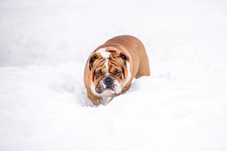Portrait of english bulldog in the snow