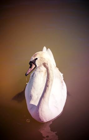 Beautiful swan swiming in the water,selective focus