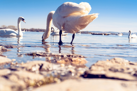 Beautiful swan in the water, low angle and selective focus Zdjęcie Seryjne