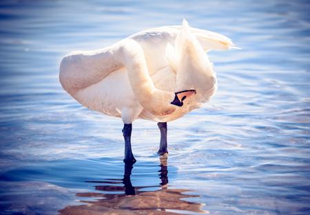 Beautiful swan standing in the water Zdjęcie Seryjne