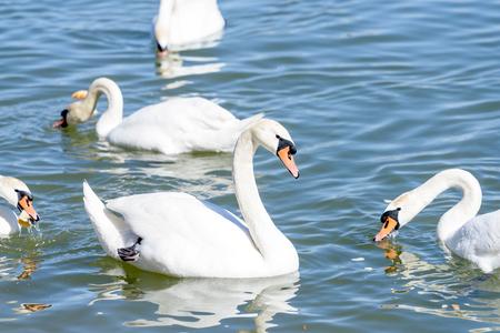 Beautiful swans swimming in the water Zdjęcie Seryjne