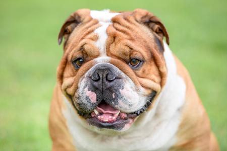 Close up portrait of Beautiful English bulldog outdoor