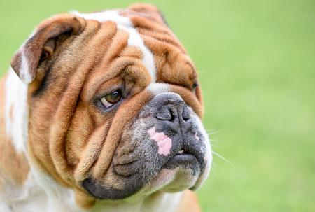Portrait of beautiful English bulldog Zdjęcie Seryjne