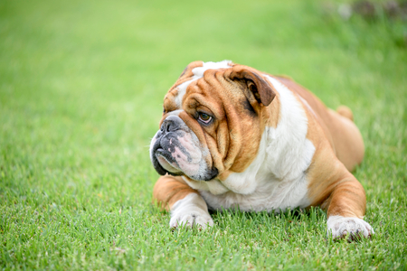 English bulldog outdoor