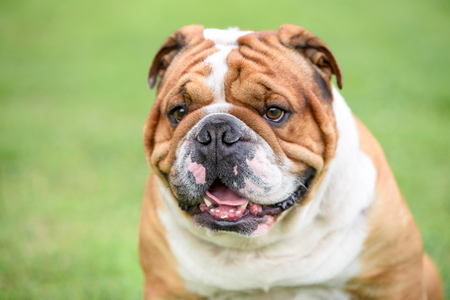 Portrait of beautiful English bulldog outdoor