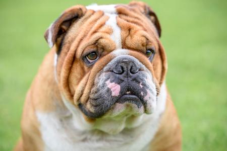 Portrait of Beautiful English bulldog