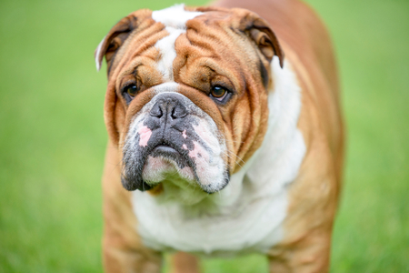 Close up portrait of beautiful English bulldog outdoor