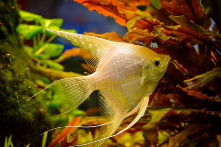 Photo of aquarium tropical white fish on green natural background Stock Photo