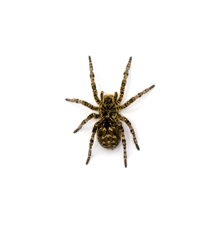 Photo of Lycosa singoriensis, black terrible hair tarantula isolated on white background Stock Photo