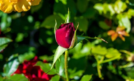 Photo of red rose on a green foliage background in the garden Stock Photo