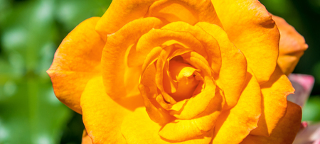 Photo of orange rose on a green foliage background in the garden