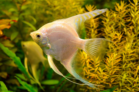 freshwater aquarium plants: Photo of aquarium tropical white fish on green natural background Stock Photo