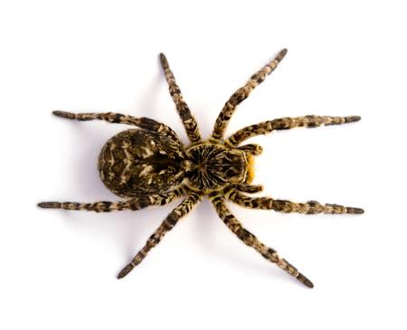 Photo of Lycosa singoriensis, black terrible hair tarantula isolated on white background Stock Photo