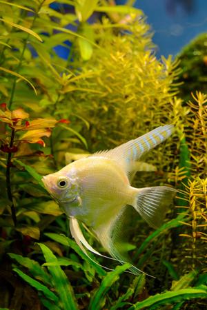 aquarium hobby: Photo of aquarium tropical white fish on green natural background Stock Photo
