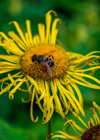Photo of beautiful yellow wild flower with bumblebee in Carpathian mountains Banco de Imagens