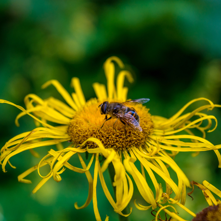 Photo of beautiful yellow wild flower with bumblebee in Carpathian mountains 스톡 콘텐츠