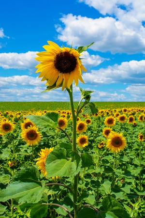 Photo of beautiful sunflower field with sky and clouds at summer