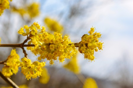 Photo of beautiful blooming yellow twig dogwood in garden in spring