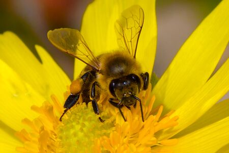 Honey bee, extracting nectar from garden flower, pollination process