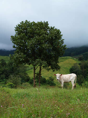 Cow eating grass among mist in the country field  photo