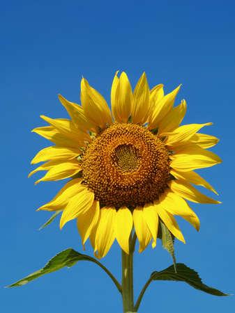 Sunflower in summer photo