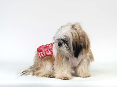 Shihtzu in white background