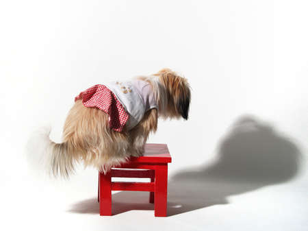 detestable: Shihtzu stand on the red stool in white background