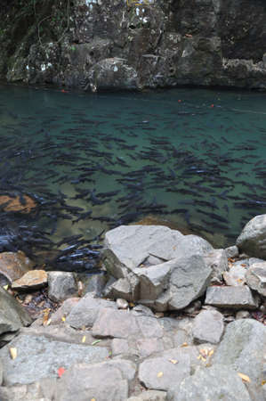 A school of Mahseer Barb fish in natural pond at national park (8) Stock Photo - 12191186