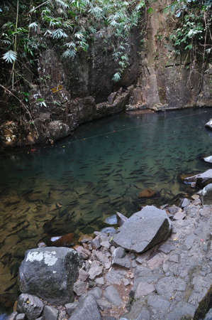 mahseer: A school of Mahseer Barb fish in natural pond at national park (3) Stock Photo
