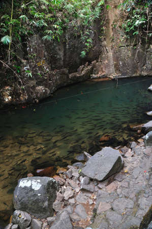 mahseer: A school of Mahseer Barb fish in natural pond at national park (1)