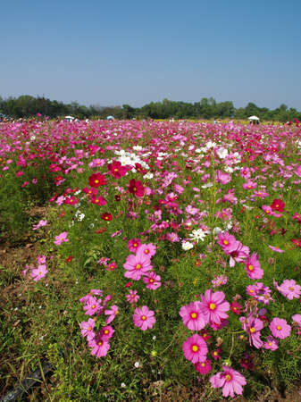 jim: Beautiful pink flower garden at Jim Thompsons farm, Thailand