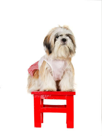detestable: Dicut of Shihtzu stand on the red stool in white background Stock Photo