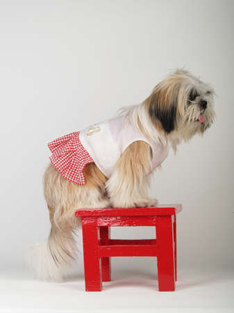 Shihtzu stand on the red stool in white background   photo